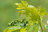 new leaf, spring season, young grapes