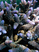 Close up of violet corals, Surin Islands Marine National Park, Ko Surin, Thailand
