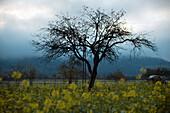 Trees in canola field in autumn, Kinzig Valley, Black Forest, Baden Wuerttemberg, Deutschland, Europe