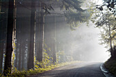 Street through Fir Forest with Morning Haze, near Fischerbach, Kinzig Valley, Black Forest, Germany