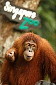 Orangutan, Singapore Zoo, Singapore