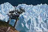Southern Beeches at Perito Moreno Glacier, Lago Argentino, Patagonia, Argentina