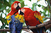 Close up of two Red Macaws, Solentiname Islands, Lake Nicaragua, Nicaragua