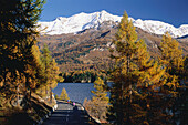 Larches in Autumnal colours at Lake Sils, Corvatsch Mountain,  Engadin, Grisons, Switzerland