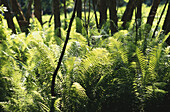 Fern in sunlight, Falkenstein, Bavarian Forest, Upper Palatinate, Bavaria, Germany