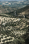 Uncountable olive trees spreading in a grid pattern on the stony hills of Jaen province, Andalusia, Spain