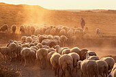 A shepherd with his flock of sheep wandering around on the harvested fields of the meseta in the evening sun, Castilla-Leon, Northern Spain
