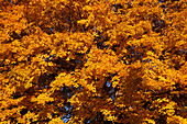 New England trees in autumn, ,USA