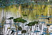 Lotus Pond, (Nelumbo nucifera), Sir Seewoosagur Ramgoolam Botanic Garden, Pamplemousses, Pamplemousses District, Mauritius
