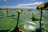 Water lilies on Lake Starnberg, Rose Island, Woerth, Feldafing, Bavaria, Germany