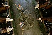 Two boys (8-9 years) feeding cattle with hay in a barn, Walchstadt, Upper Bavaria, Bavaria, Germany, MR