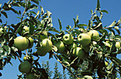 Golden Delicious apples. Delaware. USA