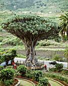 Millenial drago at Icod de los Vinos municipality. Tenerife, Canary Islands. Spain