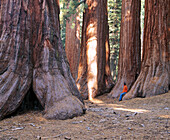 Sequoia trees in Mariposa Grove, Yosemite National Park. California, USA