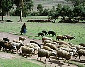Flock of sheep. Urubamba valley, Peru.
