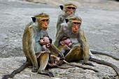 Dambulla City area. Monkeys. Sri Lanka. April 2007.