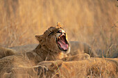 Lion cub yawing. Sabi Sabi Private Game Reserve. South Africa