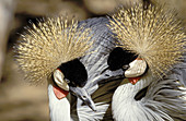 Crowned Cranes (Balearica regulorum), courtship display. KwaZulu-Natal. South Africa
