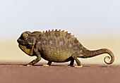 Namaqua Chameleon (Chamaeleo namaquensis), ground dwelling species. Namib Desert. Namibia