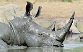 White Rhinoceros (Ceratotherium simum), mud wallowing to cool off and clear skin parasites. Hluhluwe-Umfolozi Park, KwaZulu-Natal, South Africa