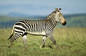 Cape Mountain Zebra (Equus zebra zebra), endangered species. Mountain Zebra National Park, South Africa