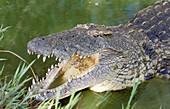 Nile Crocodile (Crocodylus niloticus). St. Lucia Wetland Park, KwaZulu-Natal, South Africa