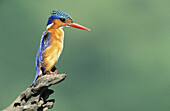 Malachite Kingfisher, Alcedo cristata, KwaZulu-Natal, South Africa