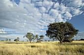 Kalahari Scene, Kgalagadi Transfrontier Park, arid grassland savannah with camelthorn trees, South Africa