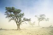 Kalahari Scene, Kgalagadi Transfrontier Park, Camelthorn and sandstorm. Kalahari, Northern Cape, South Africa
