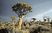 Namibia Scene, Quiver trees with storm sky, Aloe dichotoma, Quiver Tree Forest, Keetmamshoop, Namibia