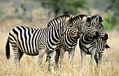 Burchell s Zebra (Equus burchelli). Kruger National Park, South Africa.
