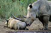 White Rhino (Ceratotherium simum) mother and calf. Hluhluwe-Umfolozi Park, KwaZulu-Natal, South Africa.