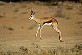 Pronking springbok. Kgalagadi Transfrontier Park, Kalahari. Northern Cape, South Africa.