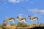 Springboks. Kgalagadi Transfrontier Park, Kalahari. Northern Cape, South Africa.