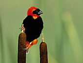 Red Bishop (Euplectes orix). KwaZulu-Natal, South Africa.