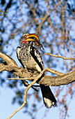 Yellowbilled Hornbill (Tockus flavirostris) eating scorpion. Kgalagadi Transfrontier Park, South Africa.