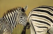 Burchell s Zebra (Equus burchelli), mother and foal. Midmar Game Reserve, South Africa