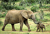 African elephants (Loxodonta africana) mother and baby. Addo Elephant National Park. South Africa