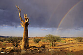 Quiver Tree and rainbow. Augrabies Falls National Park. Northern Cape, South Africa