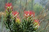 Fynbos flora, Mimetes, Mimetes cucullatus, Western Cape, South Africa