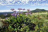 Fynbos flora, Agapanthus, Agapanthus praecox, Mossel Bay, Southern Cape, South Africa