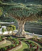 Notorious drago (Dracanea Species) tree. Icod de los Vinos, Tenerife, Canary Islands. Spain.