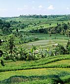 Ricefields. Jatiluwih. Bali. Indonesia.