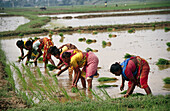 Five Indian women working in fields planting rice