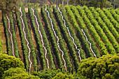 Wine grower Howard Park Wines and Leston vineyard in Margaret River. Western Australia, Australia
