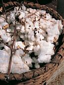 Cotton freshly cropped. Louisiana. USA