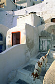 Dog getting down stairs at village. Santorini island. Greece
