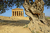 Temple of Concorde built 5th century AD in classical doric style, considered as the greek temple in best condition in the world. Thousand year old olive tree at fore. Agrigento. Sicily. Italy