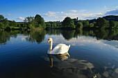A swan on the river with Castle Blankenstein in the background, Hattingen, Ruhr Valley, Ruhr, Northrhine Westphalia, Germany