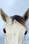 Animal, Animals, Close up, Close-up, Closeup, Color, Colour, Daytime, Detail, Details, Exterior, Farm animals, Farming, Head, Heads, Horse, Horsehair, Horses, Livestock, Looking at camera, Mammal, Mammals, Mane, Nature, One, One animal, Outdoor, Outdoors